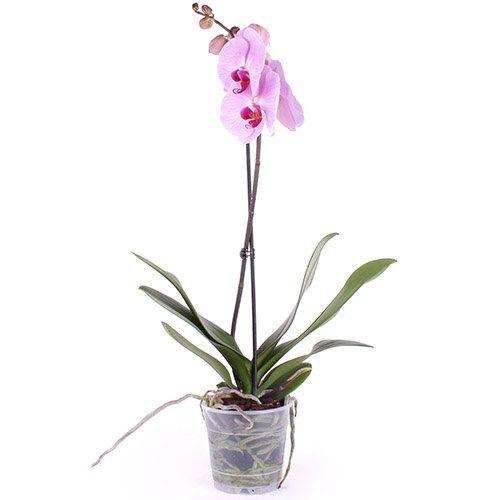 фото товара Орхидея
